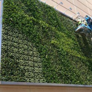 bảo dưỡng vườn tường
