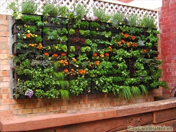 rau sạch vườn tường