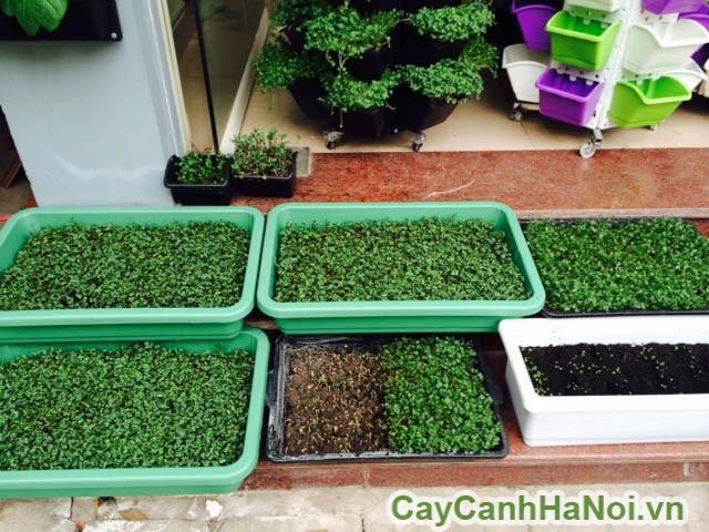 trồng rau vườn tường bằng hạt