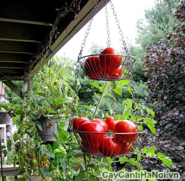 vườn thẳng đứng rau sạch